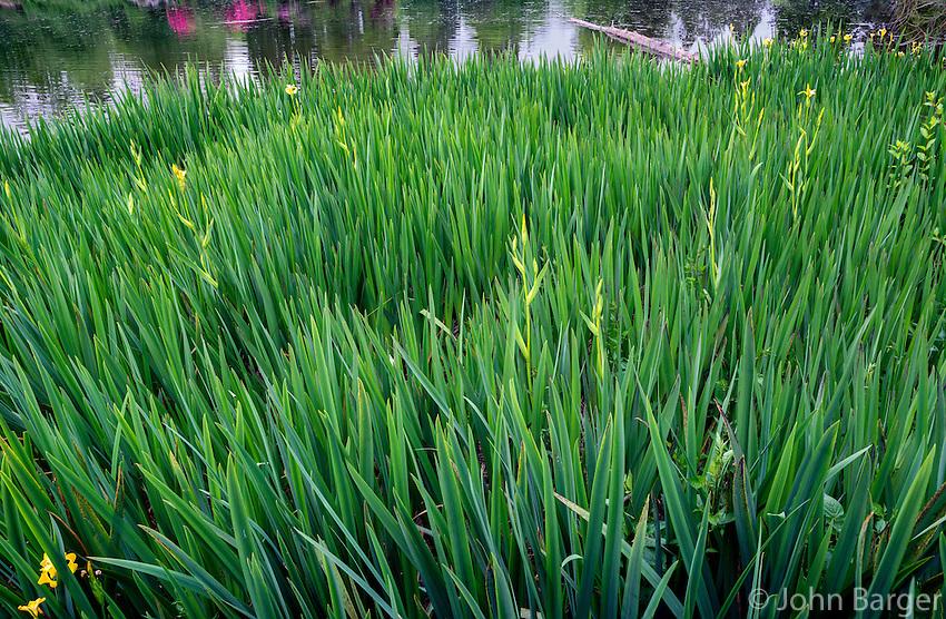 USA, Oregon, Portland, Crystal Springs Rhododendron Garden, Yellow flag aka yellow iris; an invasive herbaceous perennial plant growing in Crystal Springs Lake.