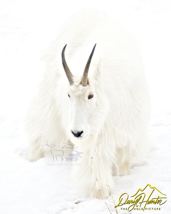 Mountains Goat, Alpine, Wyoming