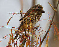 Female purple finch in ash tree