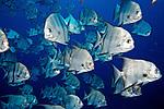 Chaetodipterus faber, Atlantic spadefish, Florida Keys