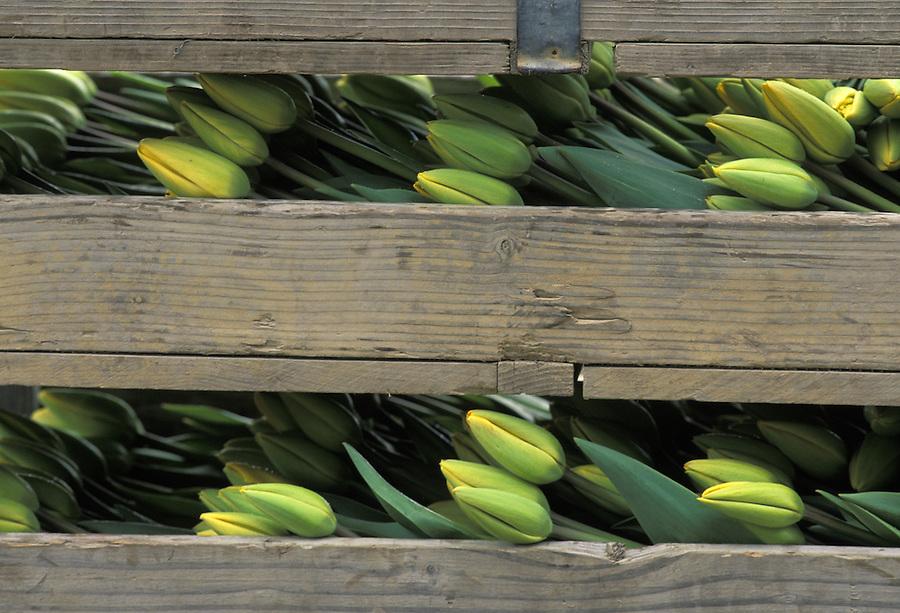 Crates of yellow tulips, Mount Vernon, Skagit Valley, Washington