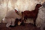 Israel, Lower Galilee, milking a goat at Nazareth Village