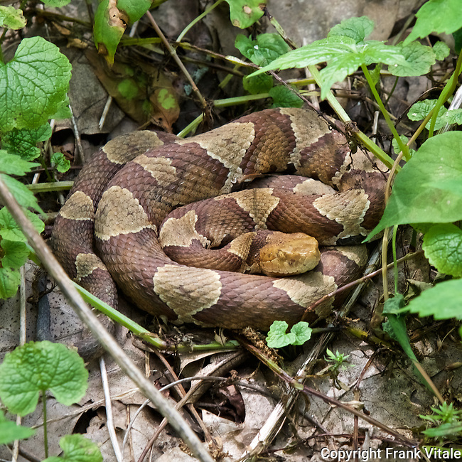 Timber Rattlesnake Along Appalachian Trail in Shenandoah National Park