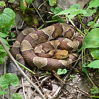 Timber Rattlesnake Along Appalachian Trail in Shenandoah National Park