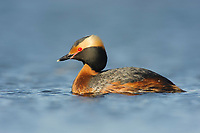 Adult Horned Grebe (Podiceps auritus) in breeding (alternate) plumage. Southeast Alberta, Canada. May.