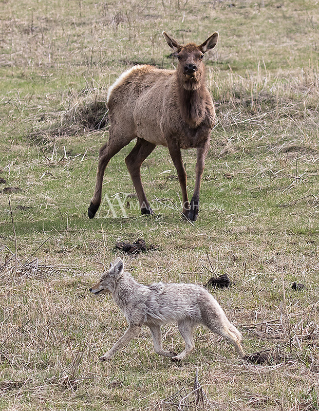 A cow elk doesn't appreciate the presence of a coyote.
