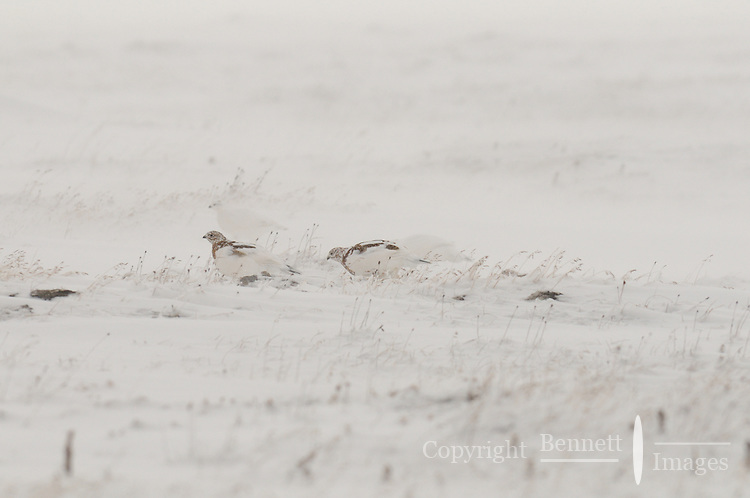 These ptarmigan  seem unfazed by the snowstorm around them as they continue their search for food. These birds are part of the subsistence food chain for the village of Kaktovik.