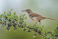 Long-billed Thrasher (Toxostoma longirostre), adult eating Elbow bush (Forestiera pubescens) berries, Rio Grande Valley, South Texas, Texas, USA