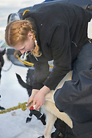 Musher Kiara Adams puts booties on sled dogs at the start of the 1000 mile Yukon Quest sled dog race 2006, between Fairbanks, Alaska and Whitehorse, Yukon. Dubbed the toughest dogsled race in the world.
