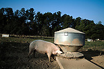 September 13, 2007, Louisburg, NC..Mae Farms, a sustainable hog farm, near Henderson, NC. One of the free ranging hogs eats from the trough in the morning.