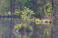 Moor, Sumpf in Nord-Deutschland, Moorlandschaft, Bruchwald, Moorweiher, Moortümpel im Frühling