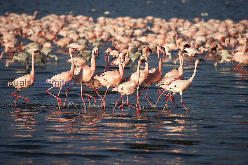 Flock of Lesser Flamingo (Phoenicopterus minor), Kenya.