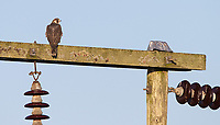 Not a species I see very often, so it was a treat viewing this falcon on a distant power pole.