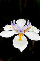 The distinctive violet, yellow and white flower of an African iris, also known as Fortnight lily.
