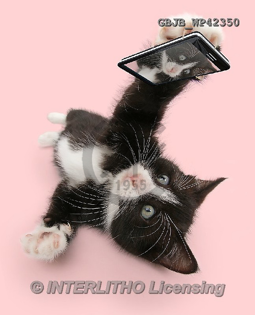 Kim, ANIMALS, REALISTISCHE TIERE, ANIMALES REALISTICOS, cats, photos,+Black-and-white kitten, Solo, 6 weeks old, taking a cat selfie,++++,GBJBWP42350,#a#