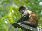 Spider monkey, Ateles geoffroyi. Captive at Zoo Ave, a zoo near San Jose, Costa Rica.