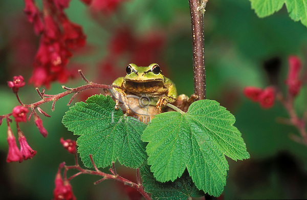 Pacific Tree Frog (Hyla regilla) sitting on red current bush, Spring, southern British Columbia, Canada.