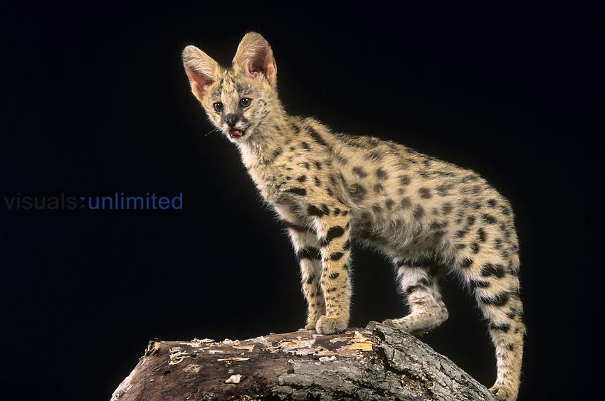 Serval ,Felis serval,, Africa.