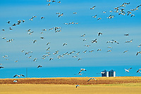 Snow geese and grain bins in autumn<br /> Beechy<br /> Saskatchewan<br /> Canada
