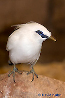 1113-0801  Bali Starling (Bali Mynah), Critically Endangered Bird, Leucopsar rothschildi © David Kuhn/Dwight Kuhn Photography