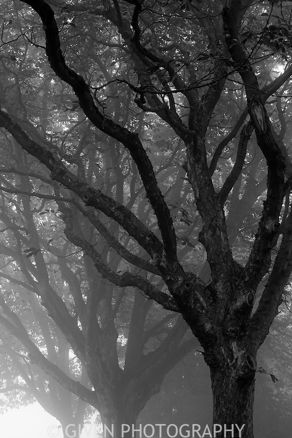 Horse Chestnut Trees in fog, Seattle, Washington
