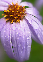 Close-up of blooming Subalpine Daisy with rain drops, Paradise Meadows, Mount Rainier National Park, Pierce County, Washington, USA