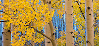 Boulder Mountain, Dixie National Forest, Utah: Aspen grove in autumn