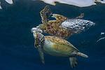 Green Sea turtle at Apo Island, Dauin, Philippines,