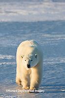 01874-14012 Polar Bear (Ursus maritimus) in Churchill Wildlife Management Area, Churchill, MB Canada