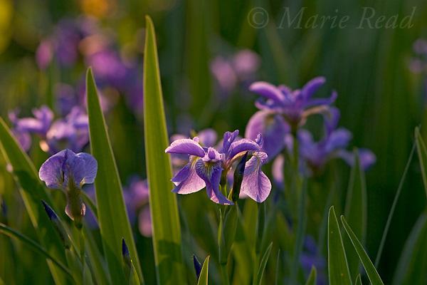 Larger Blue Flag  (Iris versicolor) (=Wild Iris) in flower, Ithaca, New York, USA