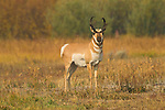 A male pronghorn in Grand Teton National Park, Wyoming.