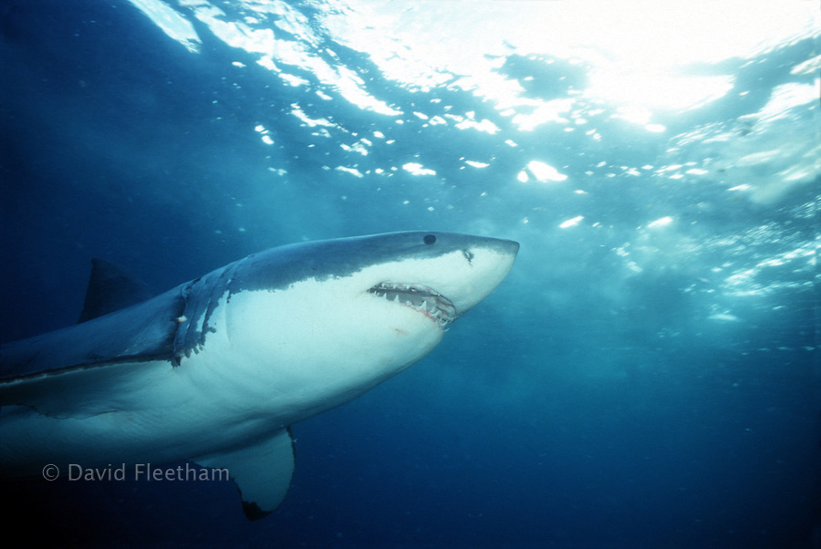 The great white shark Carcharodon carcharias  is also known as a white pointer and white death.  South Australia.