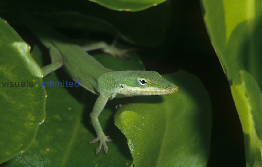 Green Anole (Anolis carolinensis), green color against green leaves, Florida, USA.