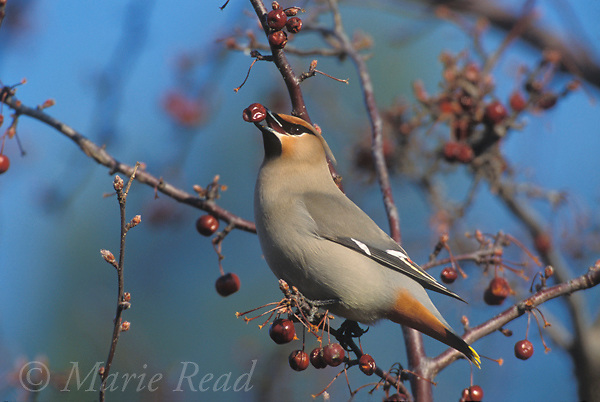 Bohemian Waxwing (Bombycilla garrulus), adult feeding on crabapple fruit, New York, USA<br />