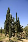 Israel, Upper Galilee, Cypress trees at Koach Fortress