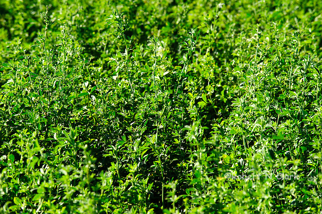 Alfalfa field in sunlight