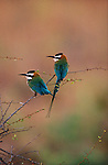Two African bee-eaters perch on branches in Kenya.