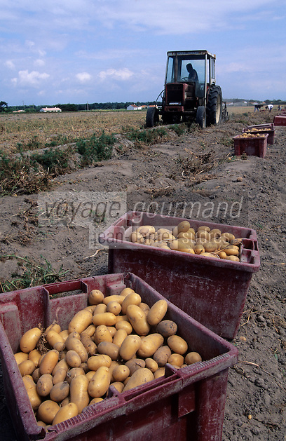 Europe/France/Pays de la Loire/85/Vendée/Ile de Noirmoutier: La récolte des pommes de terre - bonnotte