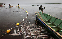 A dog watches from the end of a boat as men pull nets at Ust Bolsheretsk area while fishing along the Bolshaya river.  These fishing brigades use tractors to tow one end of the net and then bring it around full circle in the river to cinch in the fish... the net is then dumped into small boats that have nets laid in them that the crane uses to pick them up and dump them into trucks that go to the processing plants in Ust Bolsheretsk.  This brigade is working south of Oktyabrski.