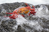 Sally Lightfoot crab, Punto Espanosa, Fernandina Island, Galapagos Islands, Ecuador
