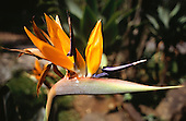 Amazon, Brazil. Strelitza reginae - Parrot Flower, Bird of Paradise flower, Crane flower; native to South Africa.