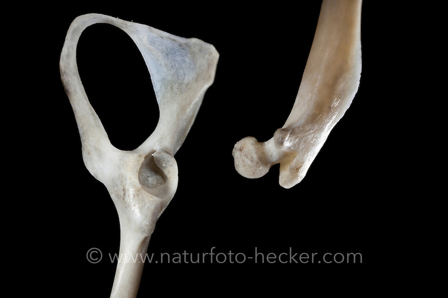 Untersuchung von einem Gewölle einer Eule, Schleiereule, Speiballen, Beckenknochen mit Gelenkpfanne und dazu gehöriger Oberschenkelknochen, Oberschenkel-Knochen mit Gelenkkopf als unverdauliche Nahrungsreste, die unverdauten Knochen als Nahrungsreste wurden aus einem Geölle heraus sortiert, Schleiereule hat eine Maus gefressen