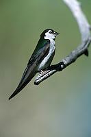 Violet-green Swallow - Tachycineta thalassina