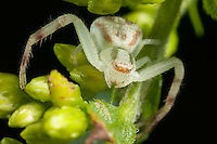 Swift Crab Spider (Mecaphesa celer), West Harrison, Westchester County, New York