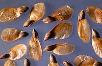 Fichten-Samen, Samen einer Fichte, geflügelter Same,  Windflieger, Gewöhnliche Fichte, Rotfichte, Rot-Fichte, Picea abies, Commun spruce, Christmas Tree, Epicéa