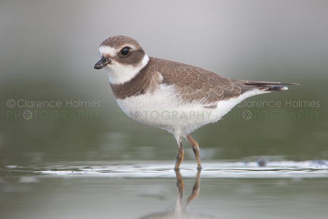 Semipalmated Plover (Charadrius semipalmatus) - Juvenile, East Pond, Jamaica Bay Wildlife Refuge