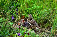 Feldlerche, Feld-Lerche, Lerche, Altvogel füttert, fütternd am Nest, Gelege, Küken, Bodennest, Alauda arvensis, Skylark, Lark, Alouette des champs
