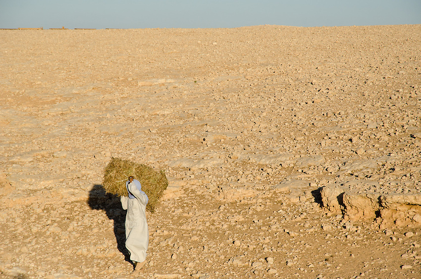 Khamis Abdel-en-Nebi hauls a bale of hay over drought-stricken land to the sheep he tends in the desert outside of Marsa Matruh, Egypt.