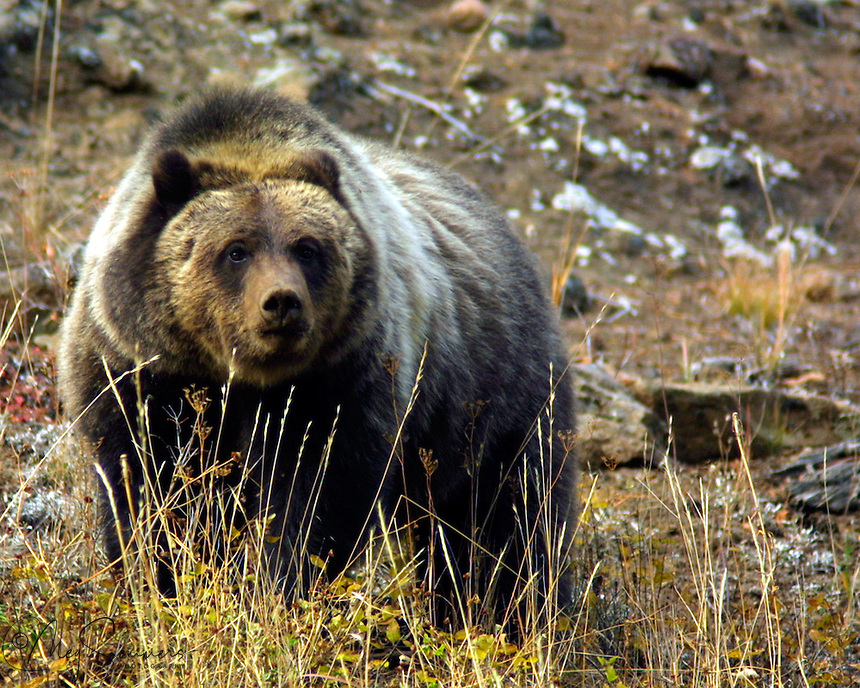Grizzly bears (Ursus arctos horribilis) put on weight in the fall to help them survive their hibernation. They are almost frantic to eat in this phase called hyperphagia. I found this bear on Sylvan Pass in Yellowstone.