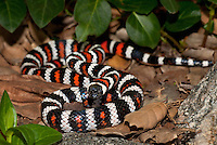 439350001 a captive wildlife rescue california mountain king snake lampropeltis zonata parvirubra coiled in leaf litter in the san gabriel mountains of southern california united states